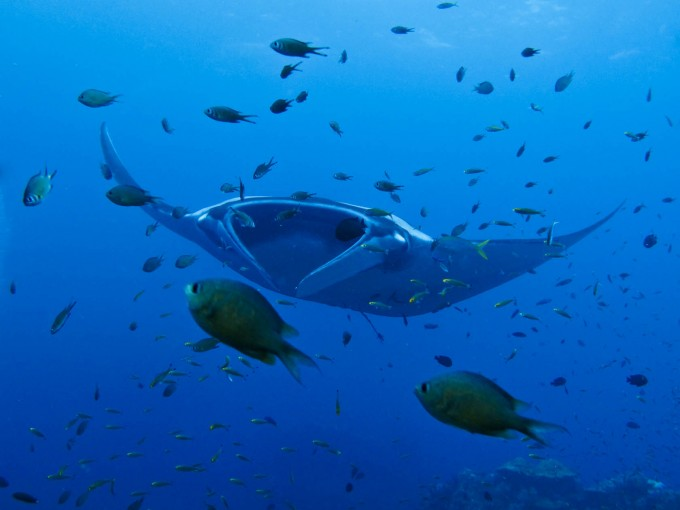 Manta-Ray-Cleaning-Station-at-Hin-Daeng-Hin-Muang-680x510